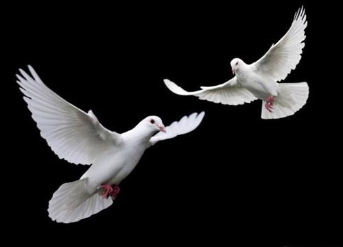 Американский голубь теперь не просто птица